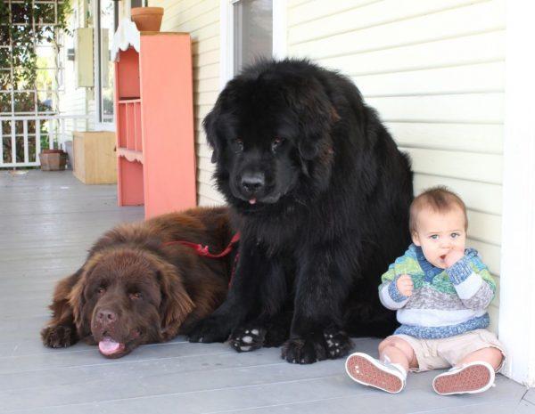 Малыш и ньюфаундленды