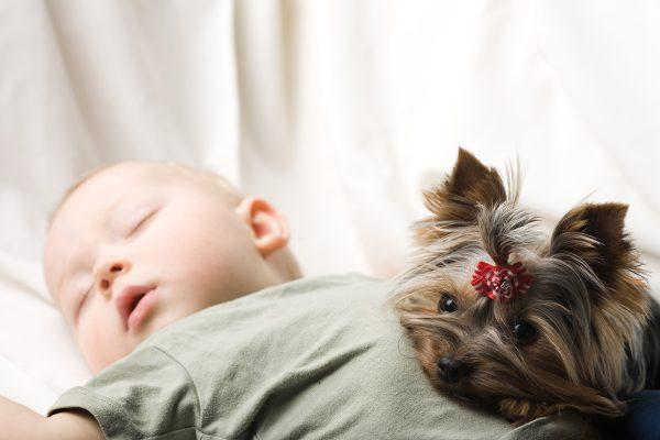Йоркширский терьер и спящий младенец