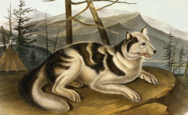 Собака сахту