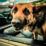 Собаке плохо в машине