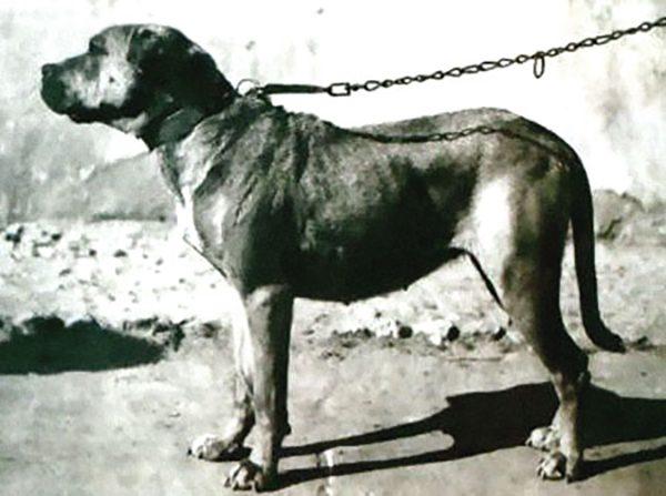 Кордовская бойцовая собака