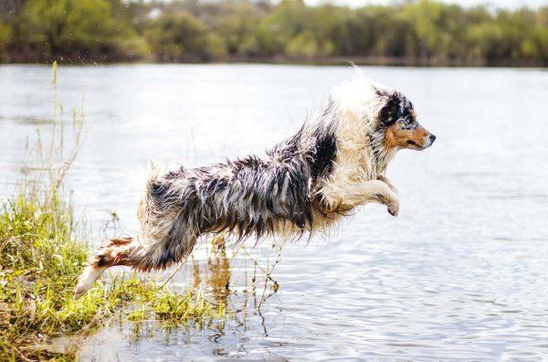 Аусси прыгает в воду