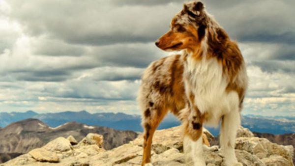 Аусси на фоне гор