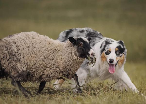 Аусси и овца