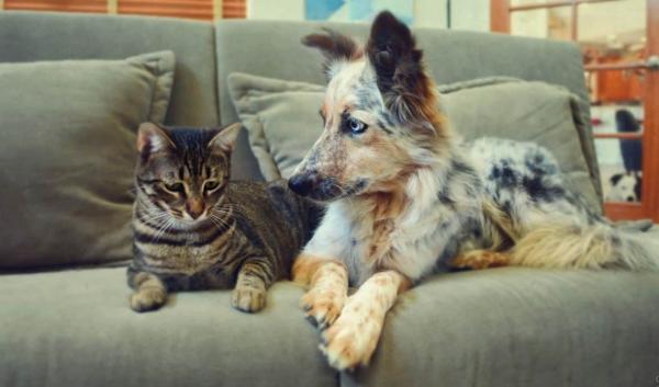 Аусси с котом