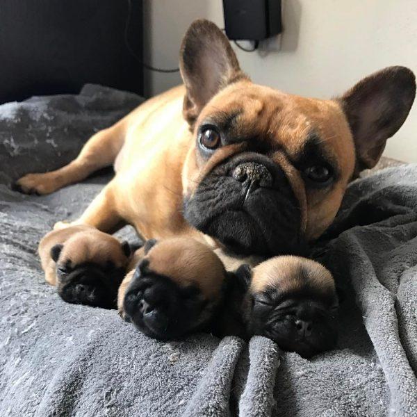 Французский бульдог с щенками