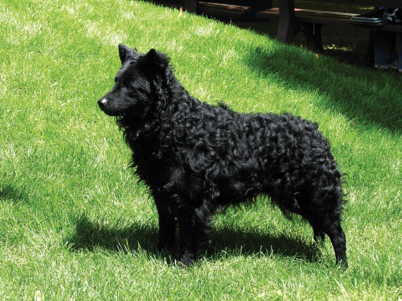 Венгерская муди — пастушья собака с храбрым сердцем