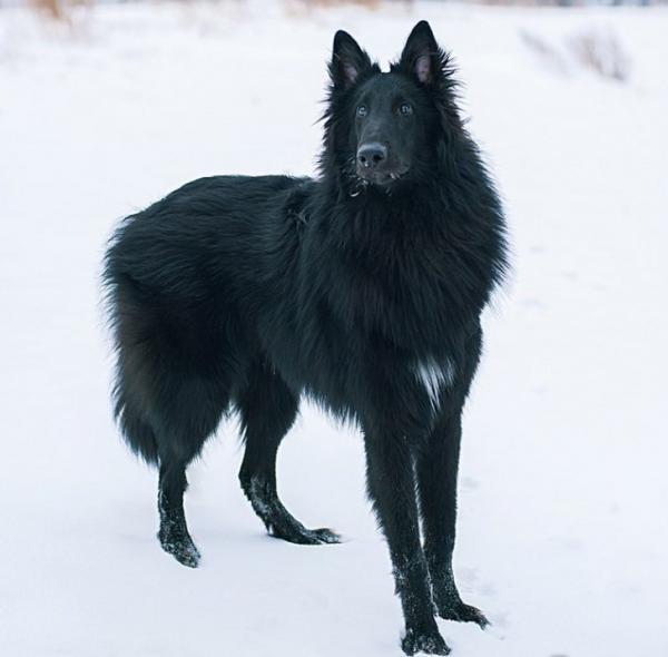 бельгийский грюнендаль порода собак