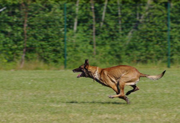 бельгийская овчарка собака бежит