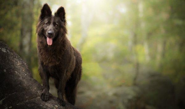 бельгийская овчарка собака