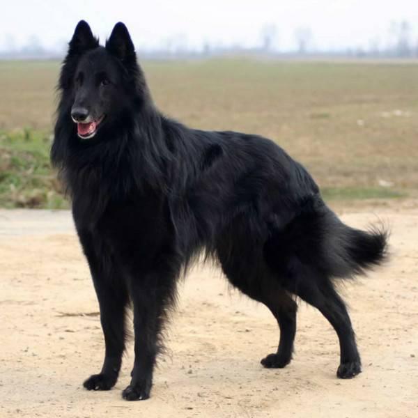 Грюнендаль красивая порода собак