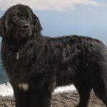 Чёрный ньюфаундленд