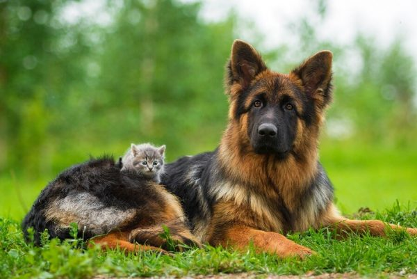 Овчарка с котёнком