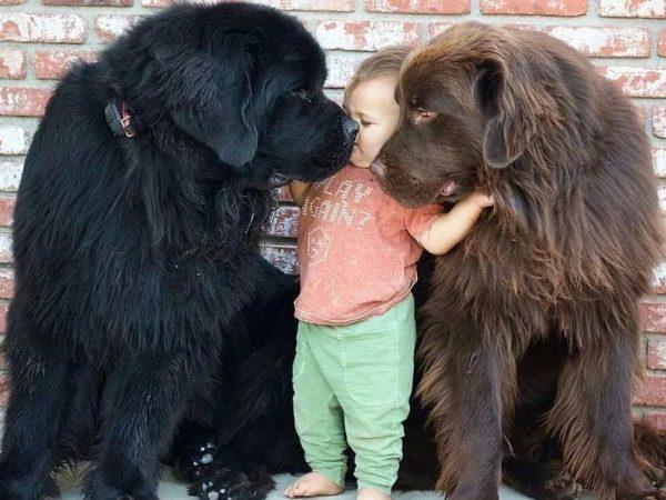 Ребёнок и два ньюфаундленда