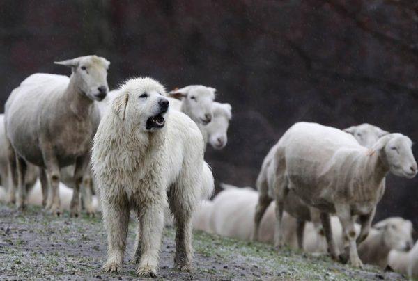 Собаки — пастухи