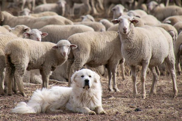 Маремма и овцы