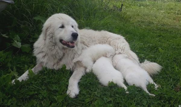 Маремма с щенками