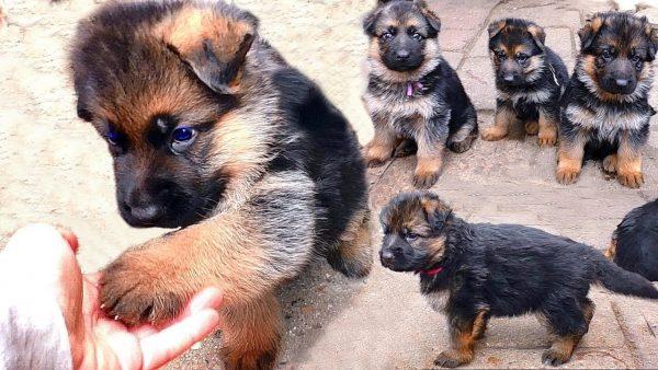 Месячные щенки немецкой овчарки