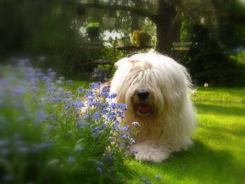 Лохматое добродушное чудо — собака породы бобтейл
