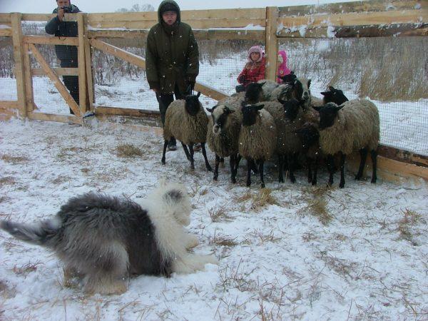 Бобтейл и овцы