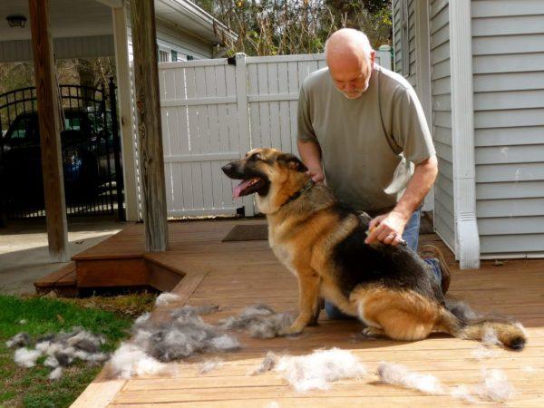 Вычёсывание немецкой овчарки