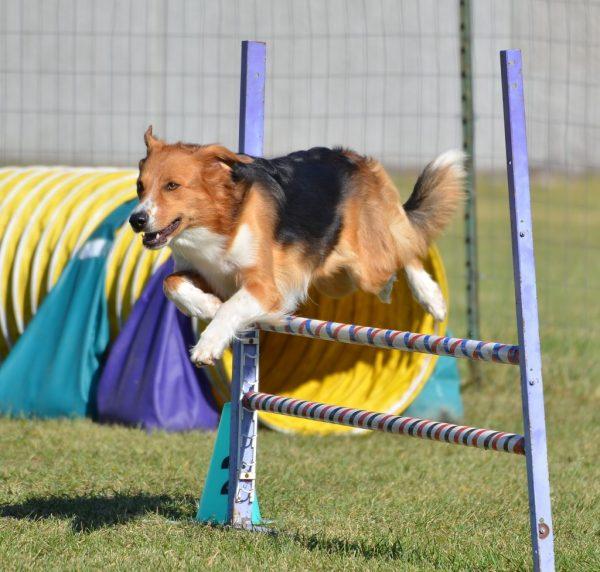 Овчарка на соревнованиях
