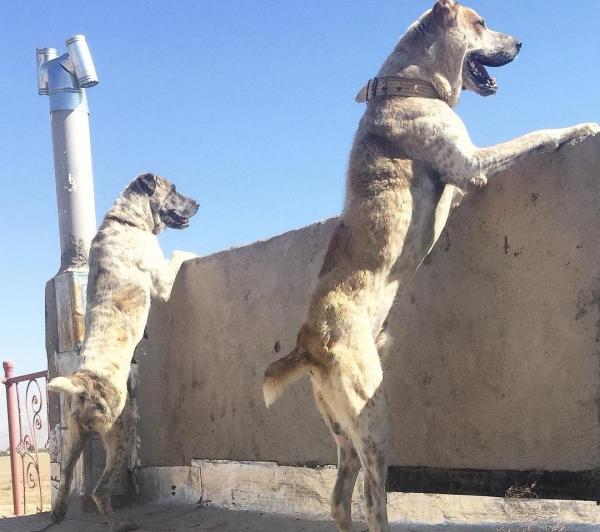 Афганские овчарки на охране