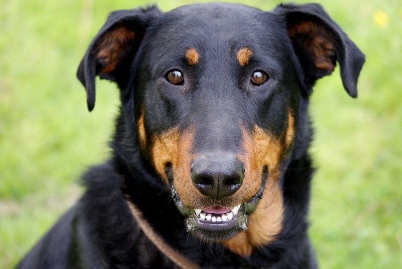 Босерон — французская пастушья собака