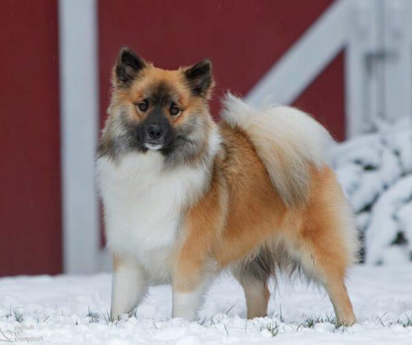 Исландская овчарка