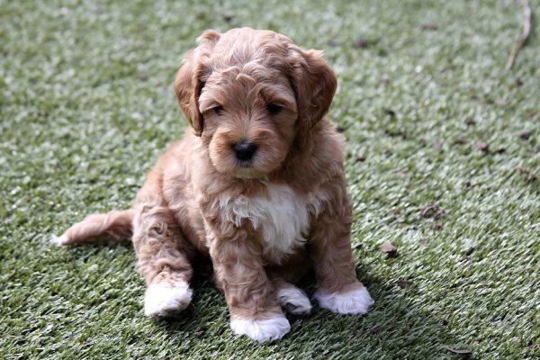 Лабрадудль щенок