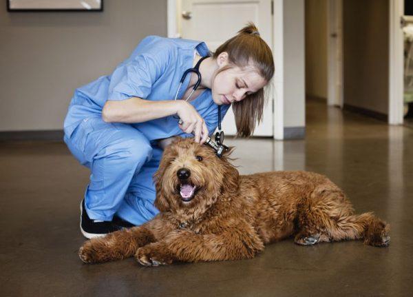 Лабрадудль у ветеринара