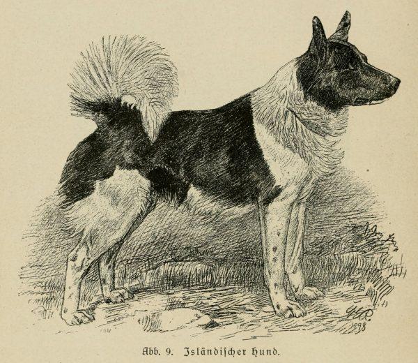 Рисунок исландской собаки