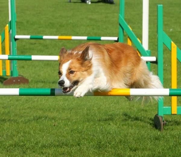 Исландская овчарка на соревнованиях