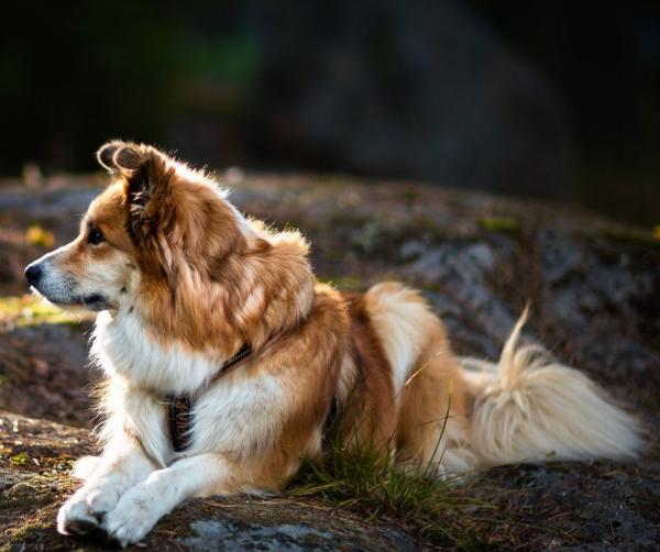 Исландская овчарка на охране