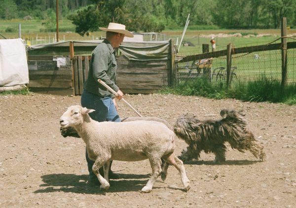 Бриар и овцы