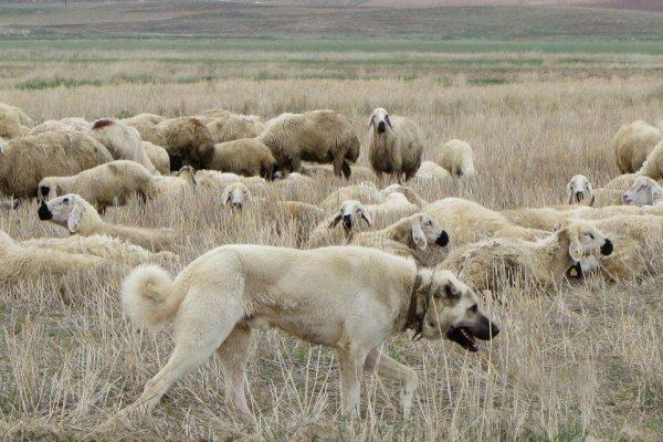 Кангал охраняет стадо