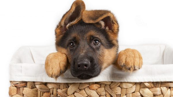 Мордочка щенка с ушами домиком