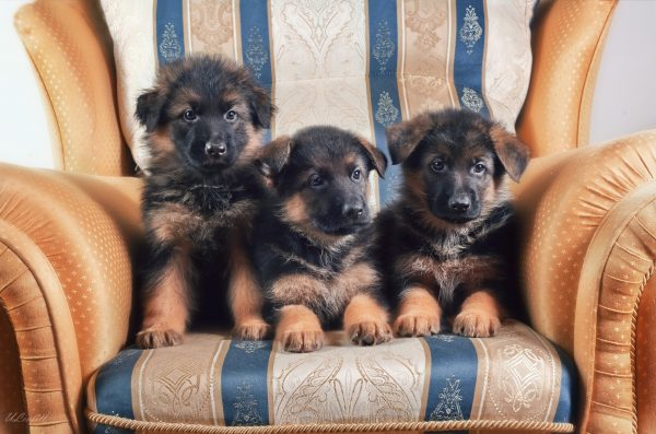 Три щенка на стуле
