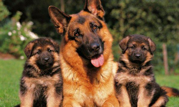 Собака с двумя щенками