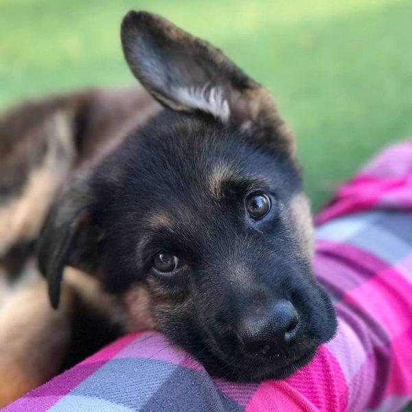 Мордочка щенка с поднятым ухом