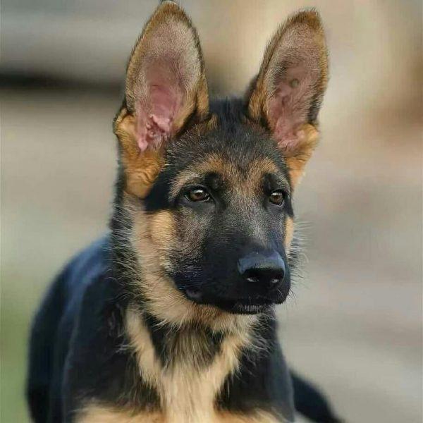 Подросший щенок с поднятыми ушами
