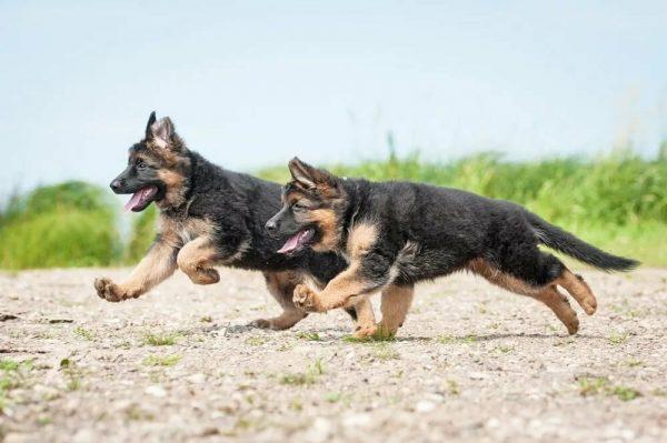 Два подросших щенка бегут наперегонки