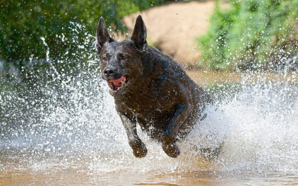 Голландская пастушья собака