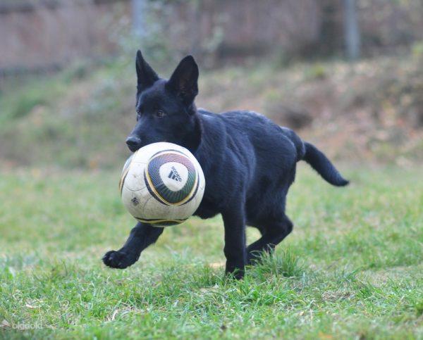 Чёрная немецкая овчарка с мячом
