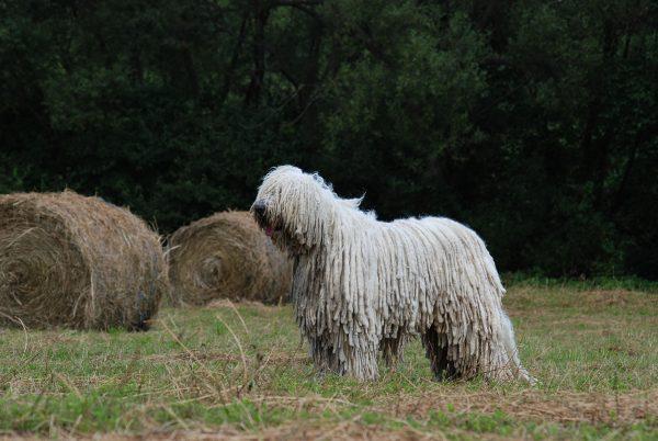 Комондор и сено