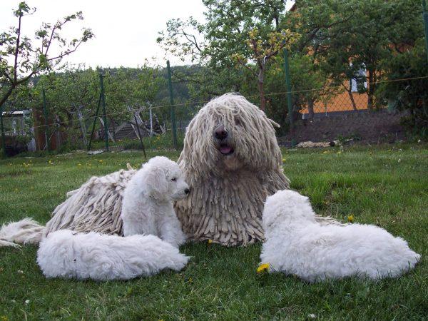 Венгерская овчарка со щенками