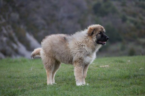 Кавказская овчарка в горах