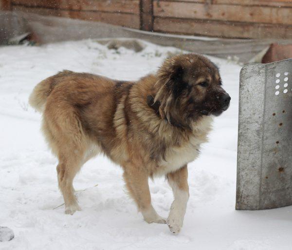 Кавказская овчарка во дворе