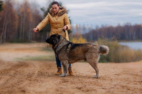 Кавказская овчарка с человеком