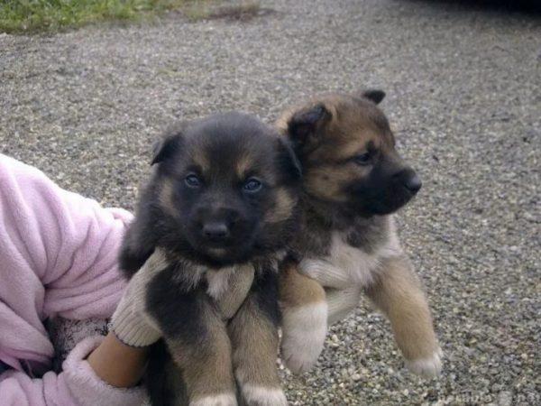Два щенка-метиса